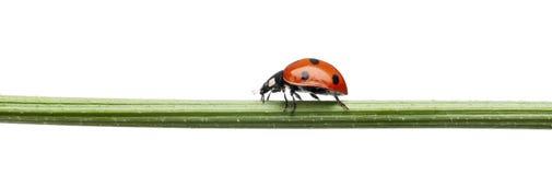 σημείο επτά λαμπριτσών ladybug Στοκ φωτογραφία με δικαίωμα ελεύθερης χρήσης