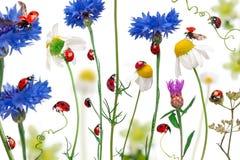 σημείο επτά λαμπριτσών ladybugs Στοκ Εικόνα