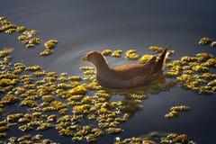 Σημείο-πλαισιωμένο gallinule πουλί στο πάρκο λιμνοθαλασσών Sausalito - Vina del Mar, Χιλή στοκ εικόνα