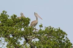 Σημείο-τιμολογημένος πελεκάνος - philippensis Pelecanus, λίμνες, Σρι Λάνκα στοκ φωτογραφία με δικαίωμα ελεύθερης χρήσης