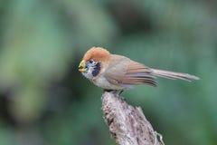 Σημείο-Parrotbill Στοκ Φωτογραφίες