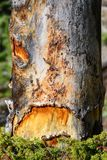 σημειώσεις σεληνόφωτου αποκριών ροπάλων ανασκόπησης Απόκοσμο νεκρό δέντρο με ένα μάτι και ένα στόμα Στοκ εικόνα με δικαίωμα ελεύθερης χρήσης