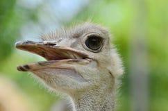 Σημειώστε τα μακροχρόνια eyelashes για να προστατεύσετε τα μάτια στη στρουθοκάμηλο στοκ εικόνες με δικαίωμα ελεύθερης χρήσης