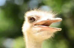 Σημειώστε τα μακροχρόνια eyelashes για να προστατεύσετε τα μάτια στη στρουθοκάμηλο στοκ φωτογραφίες
