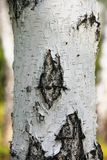 Σημύδα: άσπρος κορμός με τα μαύρα λωρίδες Όμορφο ρωσικό δέντρο Στοκ Εικόνες