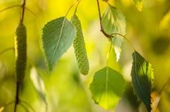 Σημύδα δέντρων ανθών με τα νέα πράσινα φύλλα Στοκ Εικόνες