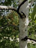 σημύδα που επισκιάζεται να υπομείνει το μόνο ισχυρό δέντρο στοκ φωτογραφίες