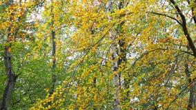 Σημύδα στο δάσος απόθεμα βίντεο