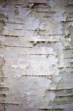 σημύδα φλοιών Στοκ Φωτογραφία