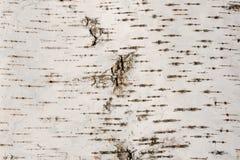σημύδα φλοιών Στοκ φωτογραφία με δικαίωμα ελεύθερης χρήσης