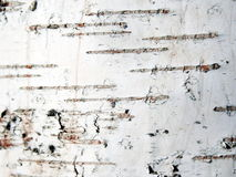 σημύδα φλοιών Στοκ φωτογραφίες με δικαίωμα ελεύθερης χρήσης