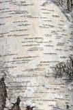 σημύδα φλοιών Στοκ Φωτογραφίες
