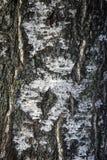 σημύδα Στοκ εικόνες με δικαίωμα ελεύθερης χρήσης