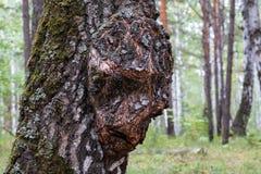 Σημύδα Capa στον κορμό μιας ανάπτυξης δέντρων στο δάσος, η αύξηση στο ξύλο υπό μορφή προσώπου στοκ εικόνες
