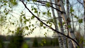 Σημύδες στο ηλιοβασίλεμα την άνοιξη φιλμ μικρού μήκους