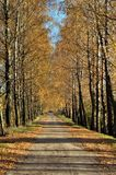 σημύδες φθινοπώρου αλεώ&nu Στοκ φωτογραφία με δικαίωμα ελεύθερης χρήσης