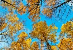 Σημύδες φθινοπώρου κορωνών Στοκ φωτογραφίες με δικαίωμα ελεύθερης χρήσης