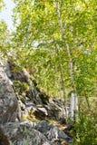 Σημύδες φθινοπώρου στο δάσος Στοκ Εικόνα