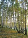σημύδες φθινοπώρου Στοκ Φωτογραφίες