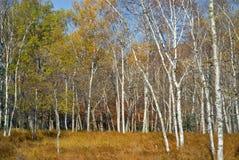 σημύδες 1 φθινοπώρου Στοκ Φωτογραφία