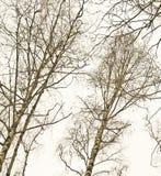 σημύδες Στοκ φωτογραφία με δικαίωμα ελεύθερης χρήσης