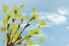 Σημύδα κλαδίσκων με τα πράσινα φύλλα Στοκ εικόνα με δικαίωμα ελεύθερης χρήσης
