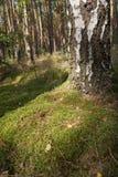 Σημύδα με το βρύο Στοκ εικόνες με δικαίωμα ελεύθερης χρήσης