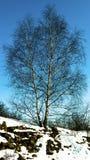 Σημύδα σε μια χιονώδη πετρώδη κλίση Στοκ Εικόνες