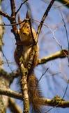 Σημύδα-σκίουρος Στοκ φωτογραφία με δικαίωμα ελεύθερης χρήσης