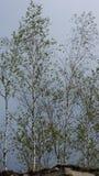 Σημύδα στεγών Στοκ φωτογραφία με δικαίωμα ελεύθερης χρήσης