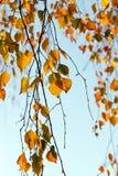 Σημύδα το φθινόπωρο, κινηματογράφηση σε πρώτο πλάνο Στοκ φωτογραφία με δικαίωμα ελεύθερης χρήσης