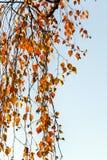 Σημύδα το φθινόπωρο, κινηματογράφηση σε πρώτο πλάνο Στοκ Εικόνες