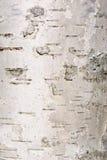 σημύδα φλοιών Στοκ εικόνα με δικαίωμα ελεύθερης χρήσης