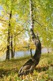 σημύδα Στοκ φωτογραφίες με δικαίωμα ελεύθερης χρήσης