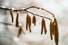 Σημύδα catkin με το χιόνι στοκ φωτογραφίες
