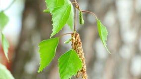 Σημύδα catkin φιλμ μικρού μήκους