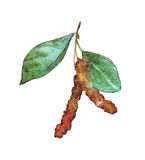 Σημύδα Catkins με τα φύλλα Στοκ Εικόνα