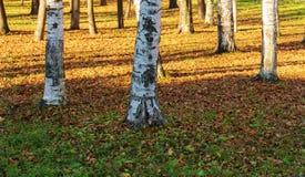 Σημύδες στο πάρκο φθινοπώρου Στοκ Εικόνες