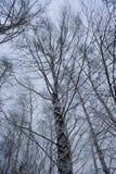 Σημύδες φθινοπώρου στη νεφελώδη ημέρα Στοκ εικόνα με δικαίωμα ελεύθερης χρήσης