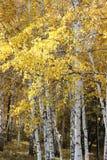 Σημύδες φθινοπώρου στο δάσος Στοκ Εικόνες