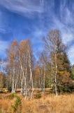 Σημύδες φθινοπώρου Στοκ Εικόνες