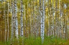 Σημύδες φθινοπώρου Στοκ εικόνα με δικαίωμα ελεύθερης χρήσης