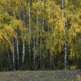Σημύδες φθινοπώρου Στοκ φωτογραφία με δικαίωμα ελεύθερης χρήσης