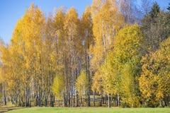 Σημύδες φθινοπώρου Στοκ Εικόνα