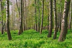 σημύδων δασικό αλσών λευκό κορμών άνοιξη ηλιόλουστο Άλσος σημύδων δασική άνοιξη ηλιόλουστη Στοκ Φωτογραφία