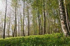 σημύδων δασικό αλσών λευκό κορμών άνοιξη ηλιόλουστο Άλσος σημύδων δασική άνοιξη ηλιόλουστη Στοκ φωτογραφία με δικαίωμα ελεύθερης χρήσης