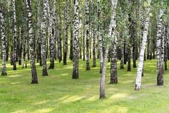 σημύδων δασικό αλσών λευκό κορμών άνοιξη ηλιόλουστο Άλσος σημύδων Στοκ φωτογραφία με δικαίωμα ελεύθερης χρήσης