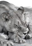 Σιέστα μητέρων λιονταριών στοκ φωτογραφία με δικαίωμα ελεύθερης χρήσης