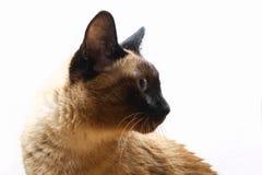Σιαμέζα ή ταϊλανδική γάτα ενάντια σε έναν άσπρο τοίχο στοκ φωτογραφία με δικαίωμα ελεύθερης χρήσης
