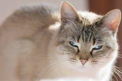 Σιαμέζα γάτα με τα μπλε μάτια που εξετάζουν τη κάμερα στο backlight Στοκ εικόνες με δικαίωμα ελεύθερης χρήσης